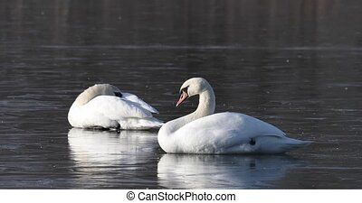 Beautiful white mute swan relaxing on frozen pond. Nature winter scene with birds. European countryside wildlife.