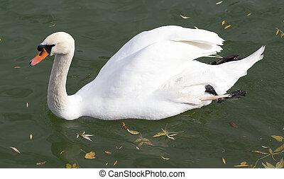 White swan on the lake in autumn