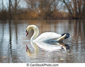 white swan on the river.