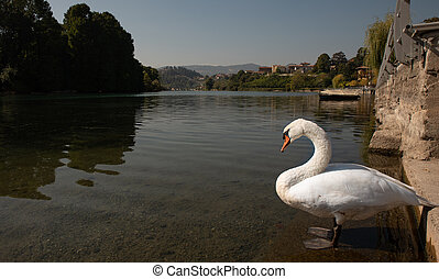 White swan on the shore of a lake under a blue sky
