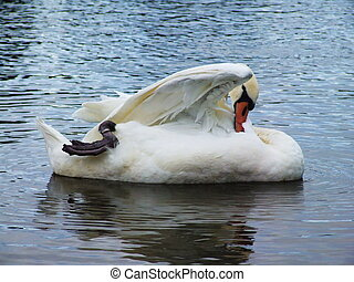 White swan on the water surface.