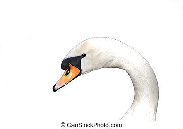 White swan portrait isolated on white