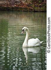 White swan portrait.