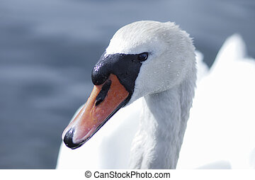 White swan portrait. White swan in the water.