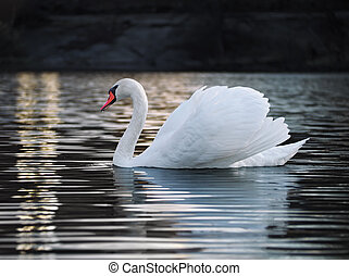 White swan posing at the lake young and beautiful