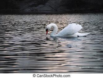 White swan posing at the water