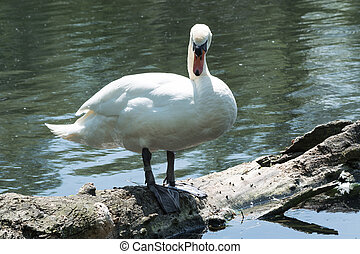 White swan standing on a tree trunk in the lake.