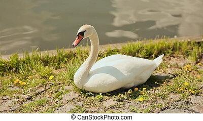 White swan standing on grass shore besides river.