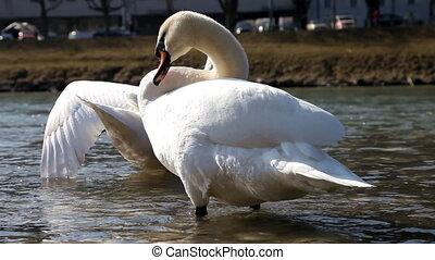 White swan - Swan Preening Feathers