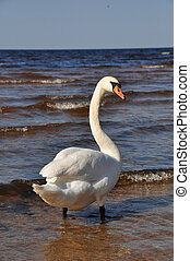 White Swan swimming at blue sea water.