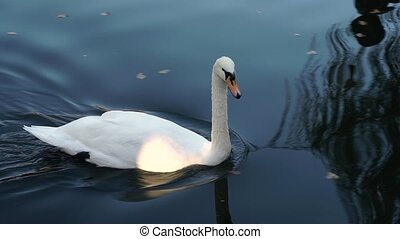White swan swimming in a pond.