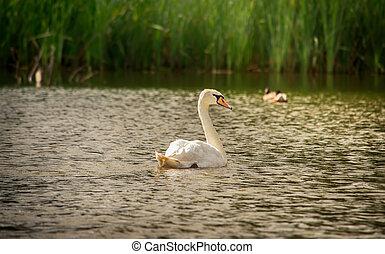 White swan swimming on a lake