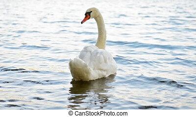 White swan swimming on lake - White swan alone swimming on...