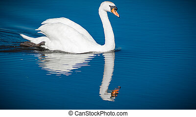 white swan swimming on the water
