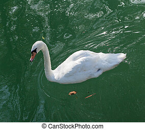 white swan swims in the lake