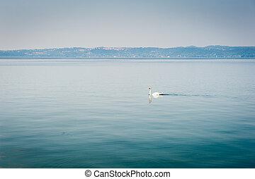 White swan swims on a lake in haze morning - White swan ...