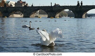 White swan waves its wings among other swans at the Charles brigde  in slo- mo