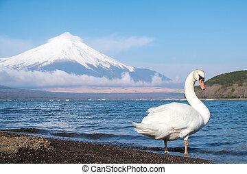 White swan with Mt.Fuji view at Yamanakako lake, Yamanashi, Japan.
