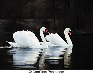 White swans at the dark lake background with beautiful reflecion at the water