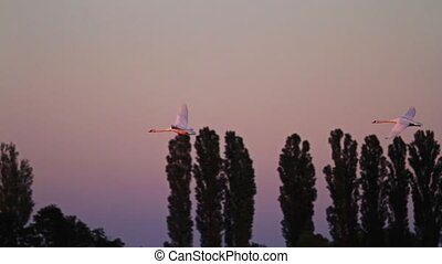 white swans fly fast against the background of a beautiful...
