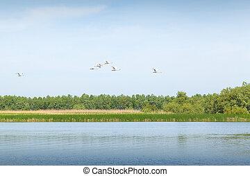 White swans flying through the Danube Delta