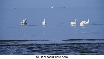white swans in the blue Baltic sea