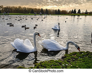 White swans in the pond, autumn park on sunset