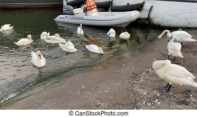 White swans in the pond. Russia, Kaliningrad. High quality ...
