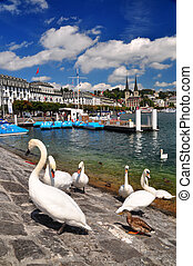 White Swans Luzern Switzerland