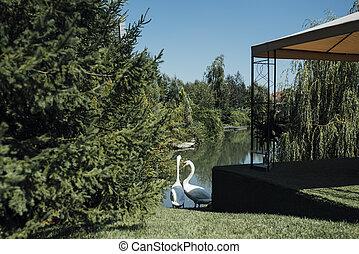 White swans near the lake