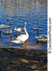 White swans on the glistening water of lake