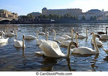 White swans on Vltava river and embankment, Prague.