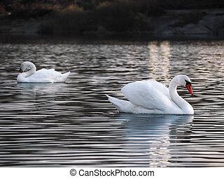 White swans posing at the lake