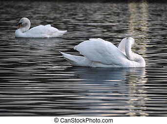 White swans posing at the water