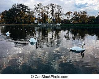 white swans swim on a lake in the center of Kaliningrad