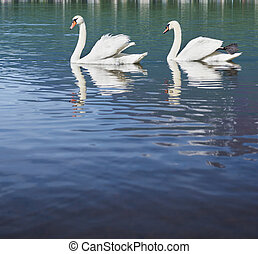 White swans swimming in peaceful lake.