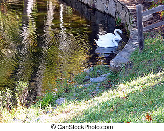 White swans swimming in pond