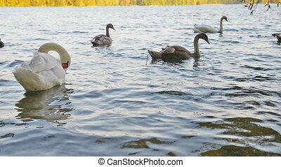 White swans swimming on lake - Wild white swans swimming...