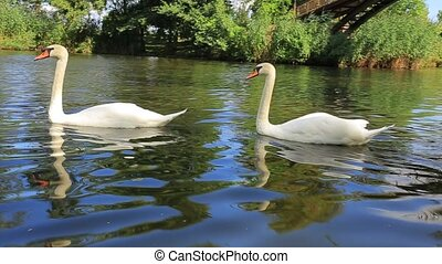 White swans - Two white swans swimming in a lake