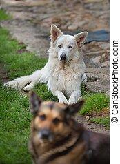 White Swiss Sheepdog - Portrait of beautiful dog - White...