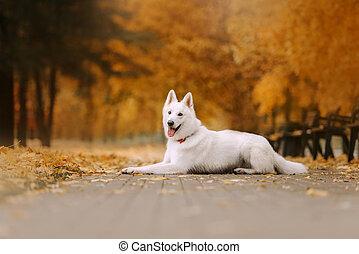 white swiss shepherd dog lying down outdoors in the park