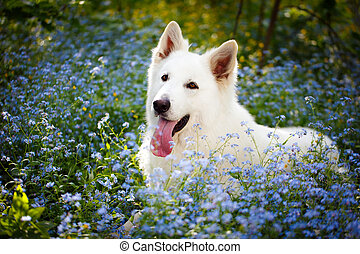 dog - white swiss shepherd dog