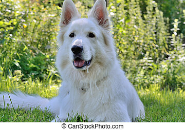 White Swiss Shepherd in meadow - Weisser Schaeferhund liegt...