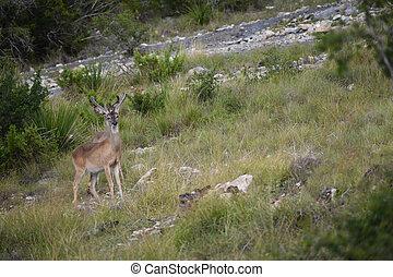White Tail Buck - white tail buck in velvet walking up a ...