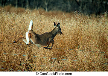 A female white tail deer jumping over a fence.