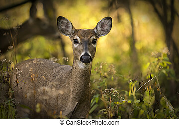A white tailed deer doe standing alert in the woods. Autumn colors backlit by the sun make up a beautiful background.