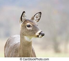 White-tail Deer at Great Smokey Mountains National Park