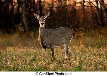Alert White Tail Deer, side lighting, autumn