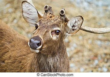 White Tail Deer - Close-up white tail deer