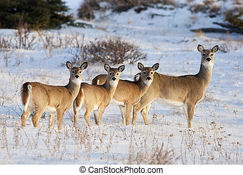 White Tail Deer Family - White Tail Deer, in early evening ...